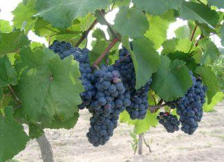 szőlő, szülők háza magazin